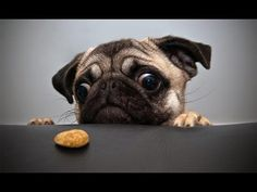 Super cute and funny pug complication ❤️