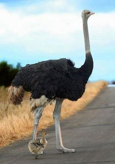 Ostrich.  Just look at that tiny babe...how sweet.