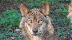 Vlk, Iberský Vlk, Poddruhy, Zvířata