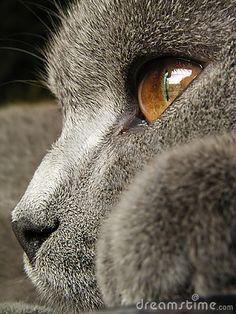 British Cat Grey awwww...