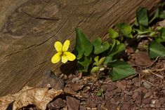 New England yellow violet