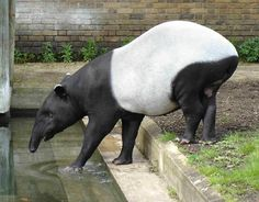The Perissodactyla are also known as odd-toed ungulates. The only living odd-toed ungulates are horses, tapirs, and rhinoceroses.belonged to a group of creatures called Perissodactyla. Fun Facts About Animals, Animal Facts, Armadillo, Zebras, Fat Animals, Wild Animals, Anta, In The Zoo, Facts For Kids