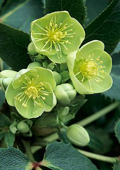 Helleborus x sternii - although Helleborus is mostly sold as a shade plant, and it will tolerate shade, this plant grows perfectly well in sunny locations where it produces more blooms.