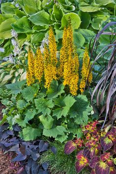 Take a walk on the wild side with Bottle Rocket ligularia from Proven Winners® - if you love bold perennials with big foliage but have a shade garden, this is the plant for you! Grows tall and likes cool, moist areas. Yellow Plants, Yellow Flowers, Best Perennials For Shade, Media Sombra, Shade Garden Plants, Shade Flowers, Companion Planting, Garden Stones, Landscaping Plants