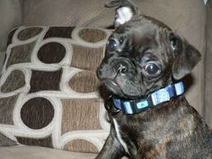 Bugg Puppy :) (pug and Boston terrier mix)