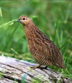 Brown Quail (Coturnix ypsilophora) Australia, New Guinea Small Birds, Colorful Birds, Pet Birds, Quail Hunting, Game Birds, Exotic Birds, Wild Birds, Bird Watching, Bird Feathers