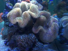 BLOG Beitrag Weichkorallen im Meerwaseraquarium