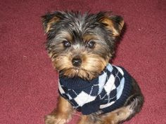 I searched all over to find a great yorkie puppy and finally I found this one, he was not very playful at first, kinda snooty lol, so I named him Armani, he is such a little boy now though, chasing lizzards and playing in the mud.