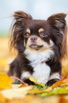 chihuahua dogs long haired, deer c. Deer Chihuahua, Apple Head Chihuahua, Brown Chihuahua, Long Haired Chihuahua, Cute Chihuahua, Chihuahua Puppies, Cute Dogs And Puppies, Chihuahuas, Long Coat Chihuahua