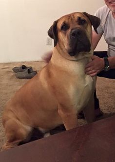 Xavi is a purebred 18-month-old male Boerboel available for adoption in Northern CA (1/2016).Xavi-Boerboel-Rescue-Oroville-CA-Jan-2016-2-cr
