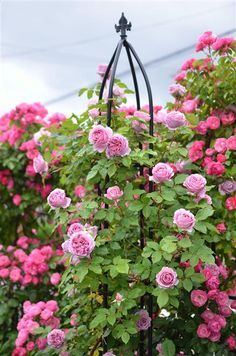 """Environment exterior garden supplies Shuichi Omura's """"Takasho"""" art handed down directly! """"Rose of winter pruning and attractants report"""" - home Hen ③ ~ - New Roses Sankei digital"""