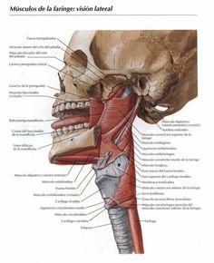 Anatomia de la faringe Neck Muscle Anatomy, All Body Workout, Medical Anatomy, Anatomy Art, Muscular, Med School, Study Tips, Doctors, Science