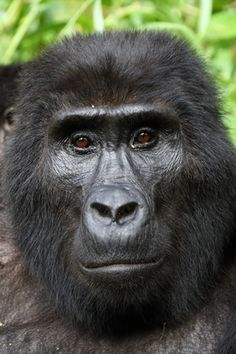 Uganda   Mountain Gorilla Close