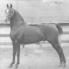 Reg. No.: 06076 MANSPHYLLIS  Sire: 7255 MANSFIELD Dam: 04027 PARAGRAPH  Sex: Mare Color: Chestnut Foaled: 05-08-1943  Totals By Color: B: 2  Ch: 11  Totals By Sex: Stallions: 4  Mares: 7  Geldings: 2 Total Progeny: 13  Orig. Owner: Margaret Ferguson  Dark Chestnut. Foaled 5/8/1943, Meeting Waters Farm, VT