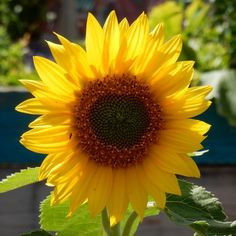 A beautiful sunflower to replace the sunshine which is quite absent at the moment.