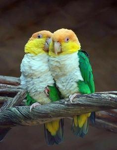 Pionites leucogaster leucogaster - Green-thighed Parrots