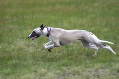 Watching a whippet run leaves you breathless. Russian Wolfhound, Irish Wolfhound, Dobermans, Whippets, Pet Health Insurance, Whippet Dog, Pet Breeds, Afghan Hound, Grey Hound Dog