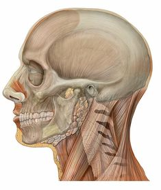 head anatomy lateral view with skull, 2006 by Patrick J. Lynch, medical illustrator