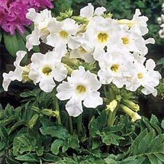 "Incarvillea delavayi Snowtop - full sun to part shade. 12-18"" drought resistent perennial."