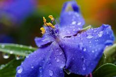Fleeting in autumn day - Spiderworts (Tradescantia x andersoniana)