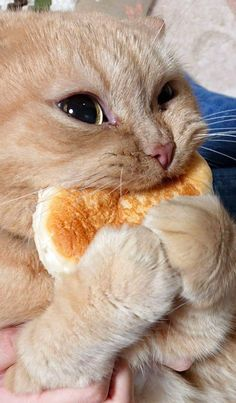 This cat and his bread - your daily dose of funny cats - cute kittens - pet memes - pets in clothes - kitty breeds - sweet animal pictures - perfect photos for cat moms Cute Baby Cats, Cute Little Animals, Cute Cats And Kittens, Cute Funny Animals, Kittens Cutest, Funny Cats, Funny Cat Faces, Cute Cat Face, Baby Kitty