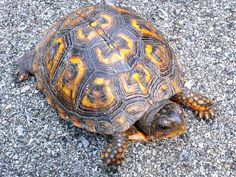 f794cc09b First Turtle Here. Eastern Box Turtle, Turtle Images, Turtle Soup, Reptiles  And