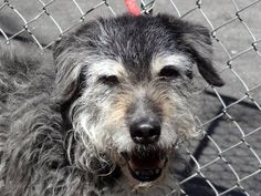 SUPER URGENT 4/26/13 Manhattan Center. This is a hig kill shelter. O'MALIE - A0963268  MALE, BLACK / GRAY, IRISH WOLFHOUND MIX, 9 yrs Adorable O'Malie was surrendered to the shelter because his owner died :((( He's 9 years old and used to being in a family setting and that's exactly where he SHOULD be. Please share O'Malie for a home today!  https://www.facebook.com/photo.php?fbid=603208169692066=a.172404072772480.42595.152876678058553=3