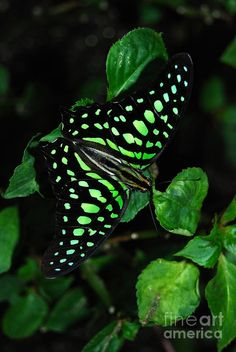 Tailed Jay Butterfly - If there is a galaxy sector consisting only of butterflies, this guy would be its Green Lantern. Butterfly Print, Butterfly Flowers, Butterfly Wings, Green Butterfly, Flying Flowers, Butterfly Kisses, Butterfly Canvas, Dragonflies, Beautiful Bugs