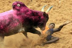The Jallikattu ban issue has ignited the passions of the people of Tamil Nadu.It is a practice that goes back several centuries , the Tamils say. Bull Images, Hindu Art, Animals Beautiful, Moose Art, The Incredibles, Incredible India, Amazing, Hanuman, News