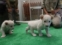 White Lion Cubs In Japan/Seven Lion Cubs born At Himeji Central Park HIMEJI, JAPAN - JULY 09: A one month old lioness play at Himeji Central Park on July 9, 2013 in Himeji, Japan. Seven white lioness cubs birth by three female South African loins June 6th, 26th and 30th, those seven white lion start to shown to the public end of this week. (Photo by Buddhika Weerasinghe/Getty Images)