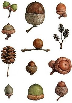 Acorns - miniature chart for my dollhouse natural history collection | Source: Bunbury's Bees and Other Eccentricities