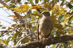 Madagascar Sparrowhawk (Accipiter madagascariensis)