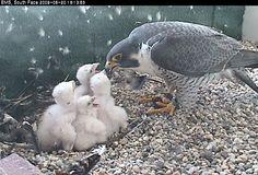 mother bird feeding her baby chicks -