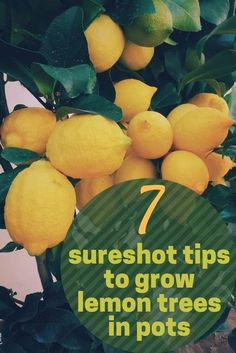 This post is all about growing a lemon tree in a pot or growing a lemon tree ind. - - This post is all about growing a lemon tree in a pot or growing a lemon tree indoors. Get the 7 best tips that will help you get your lemon tree in a . Home Vegetable Garden, Fruit Garden, Garden Trees, Edible Garden, Potted Trees Patio, Garden Bark, Garden Pots, Trees In Pots, Potted Fruit Trees