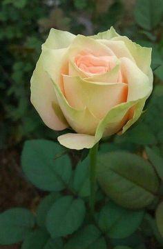 ¸.• ´¸.•*´¨) ¸.•*¨) (¸.•´ (¸.•'* #**:..。.:*☆ Roses ☆ ★ ┊ ☆ ★★ ┊ ☆ ★ - Love flowers - Google+