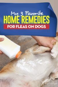 If you're looking for home remedies for fleas on dogs, here are my top 3 favorite that have proven to work well and without harming my pets. Dog Flea Remedies, Home Remedies For Fleas, Flea Remedy For Dogs, Diarrhea Remedies, Herbal Cure, Herbal Remedies, Health Remedies, Natural Cures, Natural Health