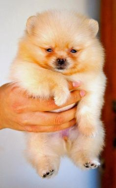 Pom Puppy. Pets are stress busters. Visit http://dogbehaviorobediencetraining.com/home/dogs-are-best-friends