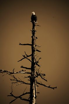 Bald Eagle on the Salmon River