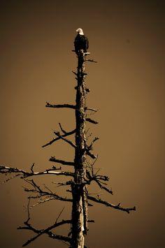 Bald Eagle on the Salmon River