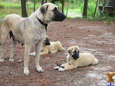 Anatolian Shepherd mom and puppies Anatolian Shepherd Puppies, Shepherd Dogs, Doggies, Pet Dogs, Dogs And Puppies, Street Dogs, Pyrenees, Working Dogs, Dog Quotes