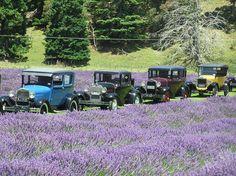 Whitebay Lavender Farm. nz