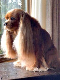 Hairdo to die for! King Charles Puppy, Cavalier King Charles Dog, King Charles Spaniel, Cavalier King Spaniel, Cocker Spaniel Puppies, Puppies And Kitties, Cute Puppies, Doggies, Best Dog Breeds