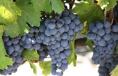 Malbec – Argentina's Signature Wine