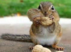 Chipmunk Nommin' away!