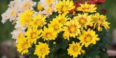 Το χρυσάνθεμο είναι ένα από δημοφιλέστερα λουλούδια που ανθίζουν την εποχή του φθινοπώρου ομορφαίνοντας τις αυλές και τα μπαλκόνια μας με τα χαρακτηριστικά άνθη που μοιάζουν με μαργαρίτες.