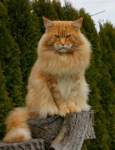 "* * ORANGE MAIN COON: * * "" If toast always lands butters side down, and cats generallys land on der feet, wut happens if yoo straps toast to de back of a cat?"""