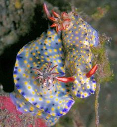 Hypselodoris infucata is a species of colorful sea slug or dorid nudibranch