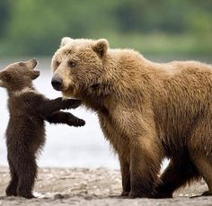 Baby bears mom is not amused, but he is