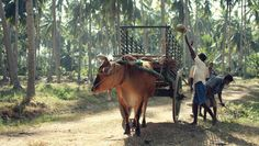 To communicate the fascinating history of Sri Lanka's beloved coconut spirit to…