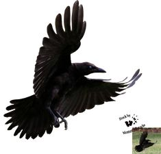 Cut-out stock PNG 80 - Flying young crow by Momotte2stocks on ...